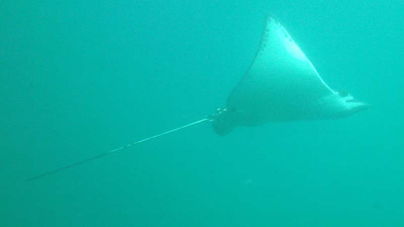 Majestic Eagle Ray on the second dive!