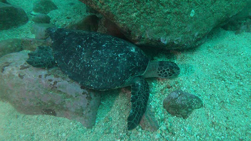Sea turtle at Cacalutta dive spot